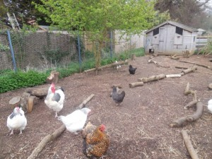 The farmyard chickens in their coop