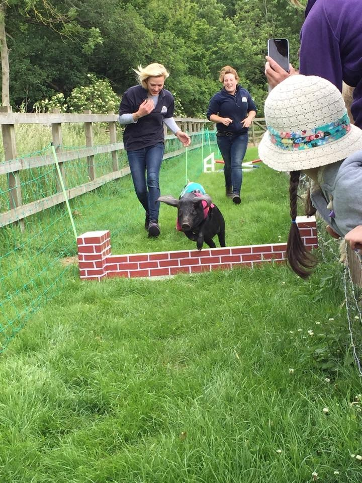 Look at this piggy go. Little steeplechase champion in the making.