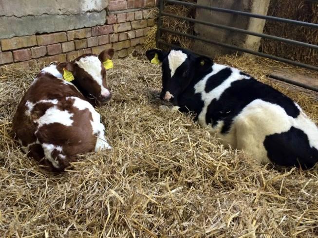 Sven & Olaf - bottle fed calves