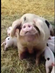 Bramley's Piglets