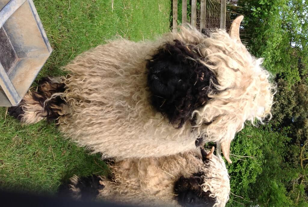 Sheep - Swiss Valais Blacknose - ewe