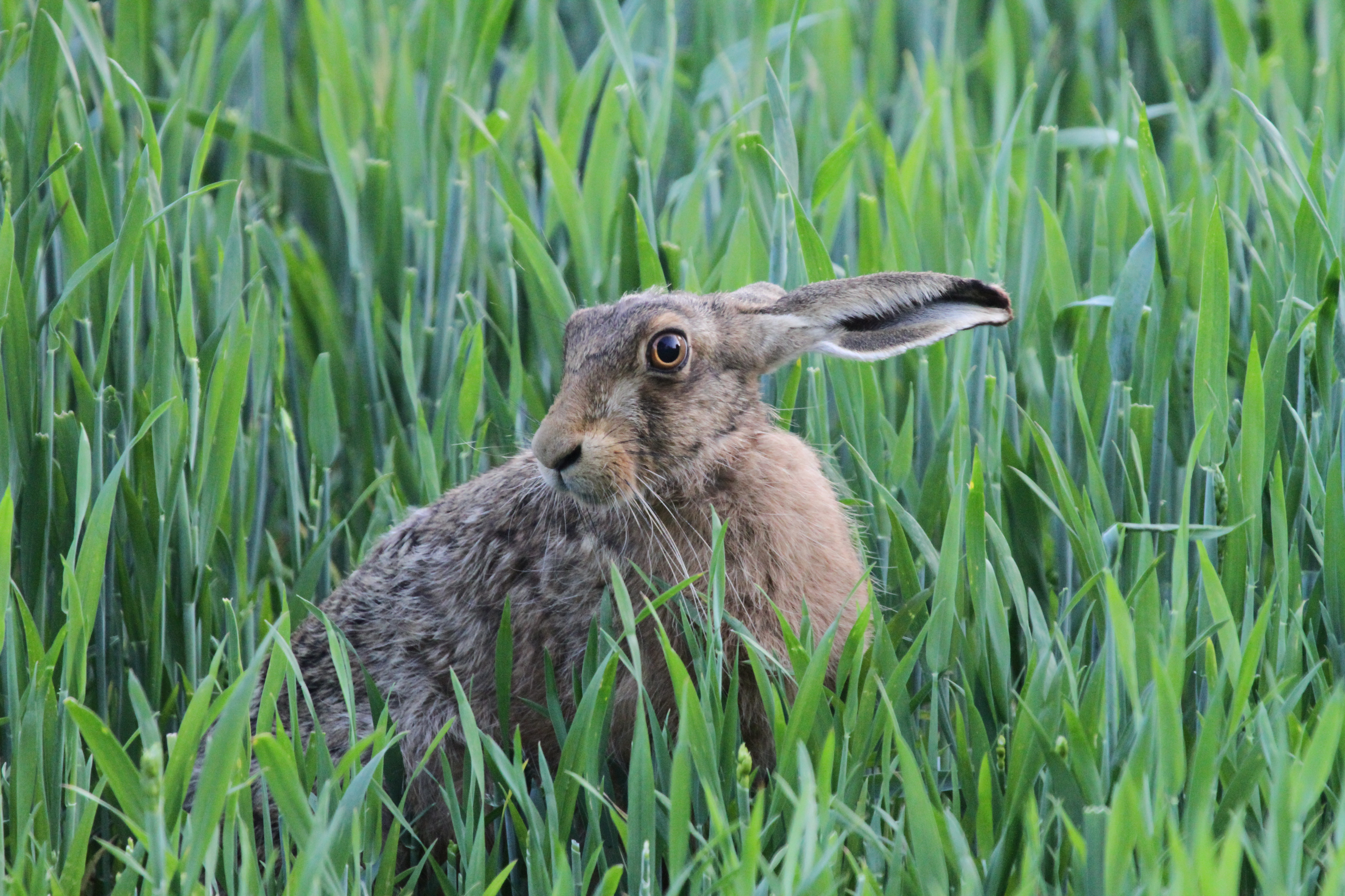Nature Walks - Hare