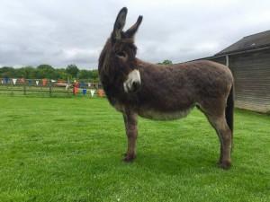 Donkey - Treacle